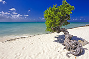 Antilles Prints - Lone Divi Tree Print by George Oze