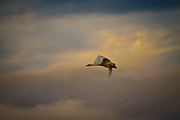 Swan In Flight Prints - Lone Flight Print by Steve McKinzie