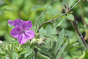 Lone Geranium In Yellowstone Print by Bruce Gourley