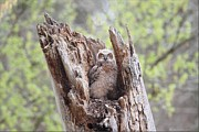 Daniel Behm Metal Prints - Lone Great Horned Owlet in Nest Metal Print by Daniel Behm