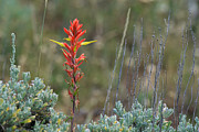 Diane Mintle - Lone Indian Paintbrush