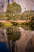 Seren Posters - Lone Oak and El Capitan in Yosemite Poster by Terry Garvin