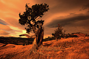 Canadian Foothills Landscape Prints - Lone Pine Print by Bob Christopher