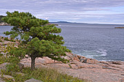 Lynda Lehmann Art - Lone Pine Over the Sea by Lynda Lehmann