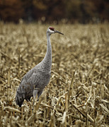 Crane Migration Framed Prints - Lone Sandhill Crane Framed Print by Thomas Young