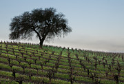 Grapevines Photos - Lone Sentinal by Kent Sorensen