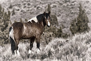 Forelock Photos - Lone Stallion D9344 by Wes and Dotty Weber