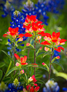 Bluebonnet Wildflowers Posters - Lone Star Blooms Poster by Inge Johnsson