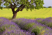 Lone Tree Prints - Lone Tree in Provence Print by Brian Jannsen