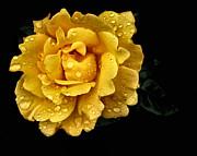 Lone Yellow Rose Print by Stephanie Hollingsworth