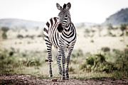 Inhospitable Framed Prints - Lone Zebra Framed Print by Mike Gaudaur