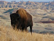 Jens Larsen - Lonely Badlands Bison