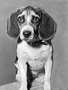 Beagle Photos - Lonely Beagle Awaits Adoption by Underwood Archives