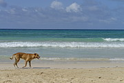 Dog Walking Posters - Lonely dog wandering on beach Poster by Sami Sarkis