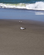 Lone Gull Posters - Lonely Sea Gull with Sandpipers Poster by Allan  Hughes