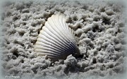 Panama City Beach Fl Prints - Lonely Shell Print by Debra Forand