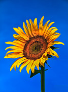 Florets Prints - Lonely Sunflower Print by Robert Bales