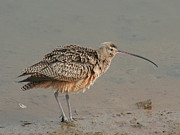Bob and Jan Shriner - Long-billed Curlew