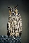 Long-eared Owl Print by Paulette  Thomas