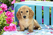 Long Eared Puppy In Front Of Blue Box Print by Greg Cuddiford