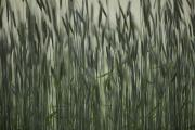 Industrial Concept Posters - Long Grass In Farm Field Poster by Ron Bouwhuis