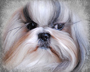Long-haired Framed Prints - Long Haired Shih Tzu Framed Print by Jai Johnson