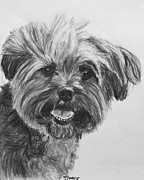 Yorkie Drawings - Long Haired Yorkshire Terrier by Kate Sumners