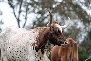 Long Horn Cow Photos - Long horn cow by Dwight Cook