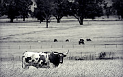 Long Horn Cow Photos - Long Horn by Natalie McBeath