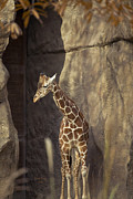 Giraffe Photos - Long Neck Louie  by Trish Tritz