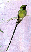 Long Tail Prints - Long Tailed Hummingbird Print by Sabrina L Ryan