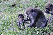 Long Pyrography Framed Prints - Long Tailed Macaque Family Framed Print by Shoal Hollingsworth