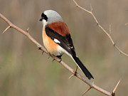 Ramesh Chand - Long tailed shrike on a...