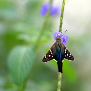 Laura Fasulo Digital Art Prints - Long Tailed Skipper Print by Laura  Fasulo
