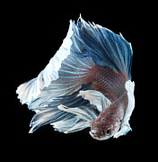 Betta Prints - Longfin Siamese Fighting Fish Print by Visarute Angkatavanich