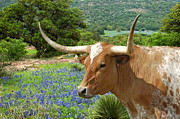 Longhorn Photos - Longhorn Blues by Robert Anschutz