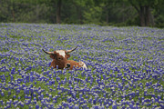 Jerry Bunger - Longhorn In Bluebonnets