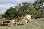 Longhorn Photo Framed Prints - Longhorn Love Framed Print by Bill Morgenstern