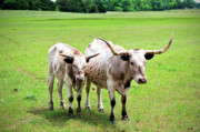 Cow Photo Posters - Longhorns Poster by Betty LaRue