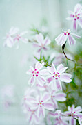 Phlox Prints - Longing For Spring Print by Iris Lehnhardt