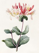 Red Leaf Drawings - Lonicera Periclymenum  by Louise D Orleans