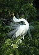 Great White Egret Prints - Look at Me Print by Sabrina L Ryan