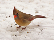 Red Cardinals In Snow Prints - Look at You Print by Sandy Keeton