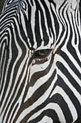 Zebras Prints - Look into my eye Print by Ernie Echols