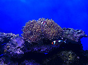 Clown Fish Photos - look its Nemo by Heather Gosnell