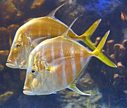 A Gurmankin - Lookdown Fish Pair