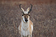 Pronghorn Framed Prints - Lookin at You Kid Framed Print by Adam Jewell