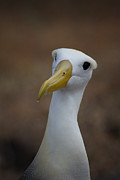 Albatross Art - Looking at Me by Todd Bielby