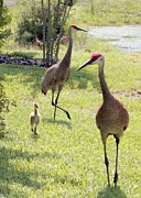 Sandhill Cranes Framed Prints - Looking for a Handout Framed Print by Carol Groenen