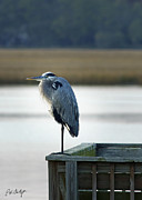 Herons Photos - Looking For Dinner by Phill  Doherty